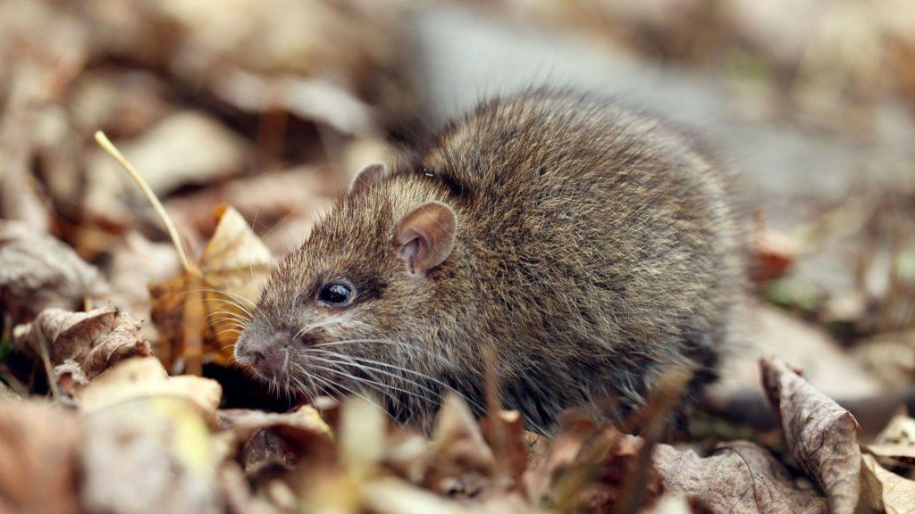 Cotton Rats
