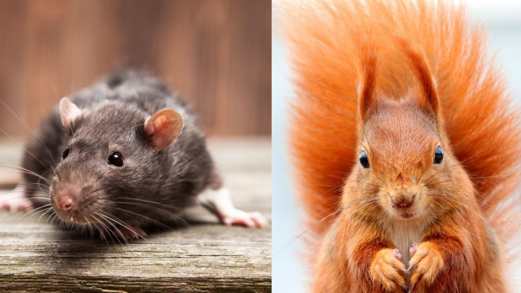 Difference Between Rat and Squirrel Feces