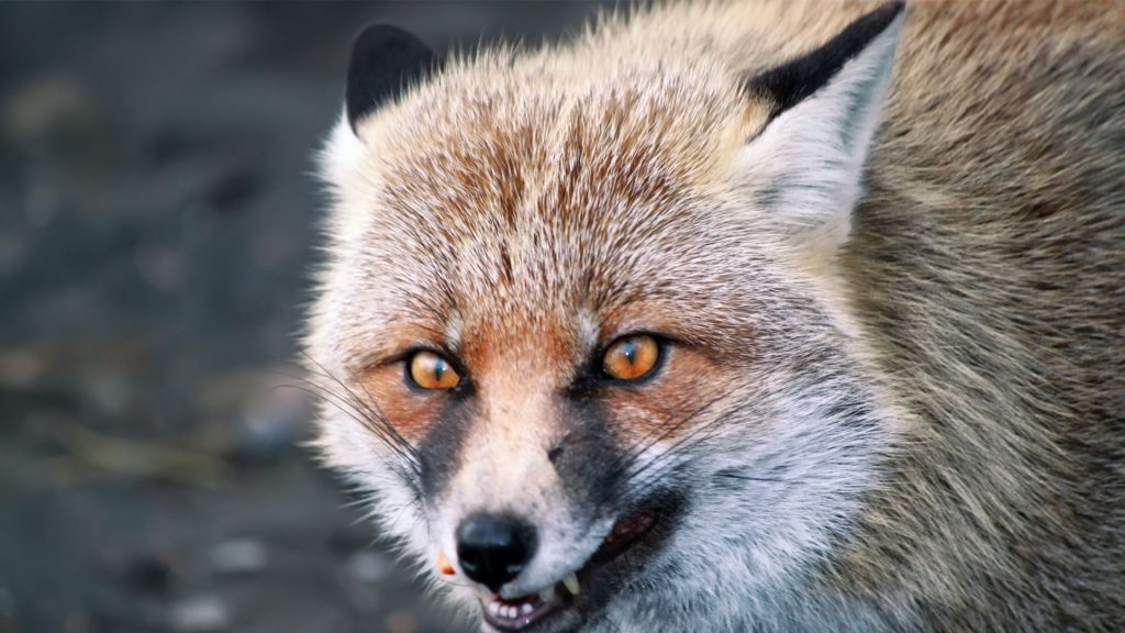 Different Types of Foxes That Are Dangerous to Humans