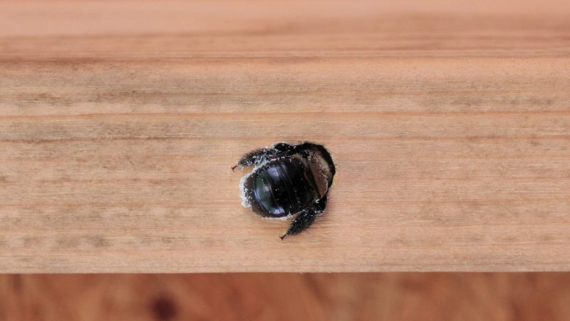Do Female Carpenter Bees Come Out