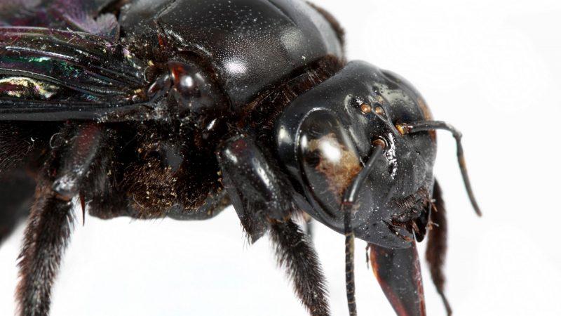 Do Female Carpenter Bees Kill the Males