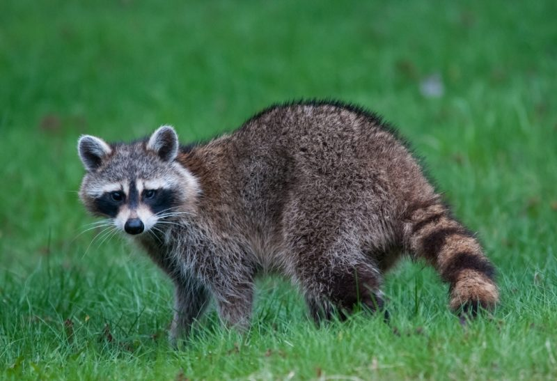 Do Raccoons Attack Humans and Our Pets