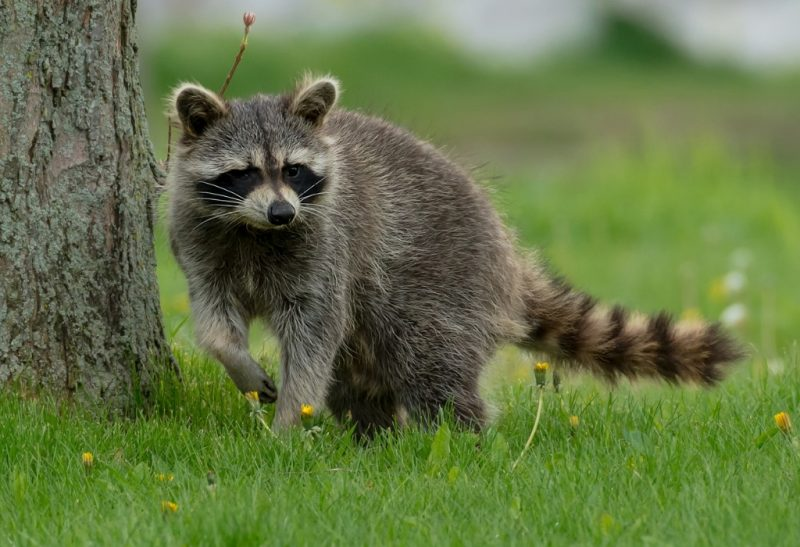 Do Raccoons Attack and Eat Chickens