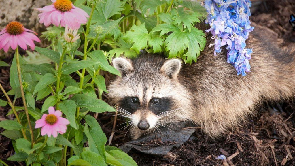 Do Raccoons Bury Their Feces