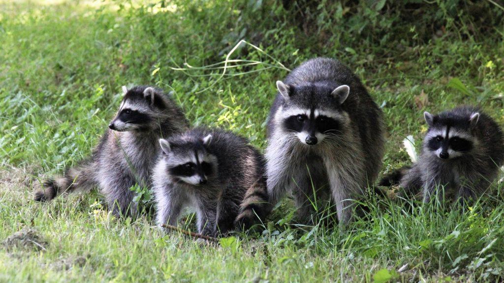 How Dangerous Are Raccoons
