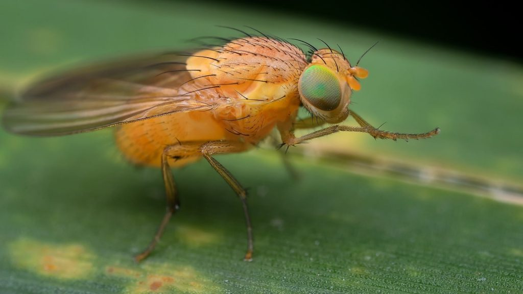 How Many Species of Fruit Flies Are There