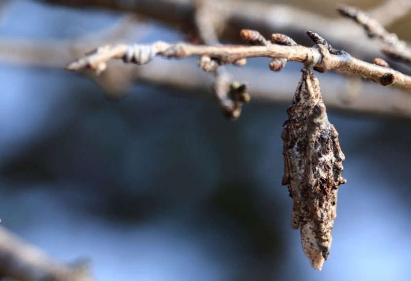 How to Get Rid of Plaster Bagworm