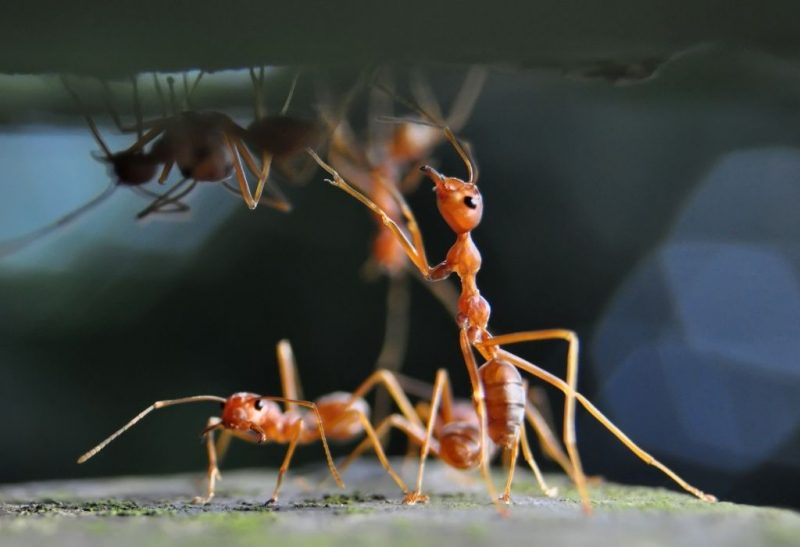 How to Get Rid of Red Ants