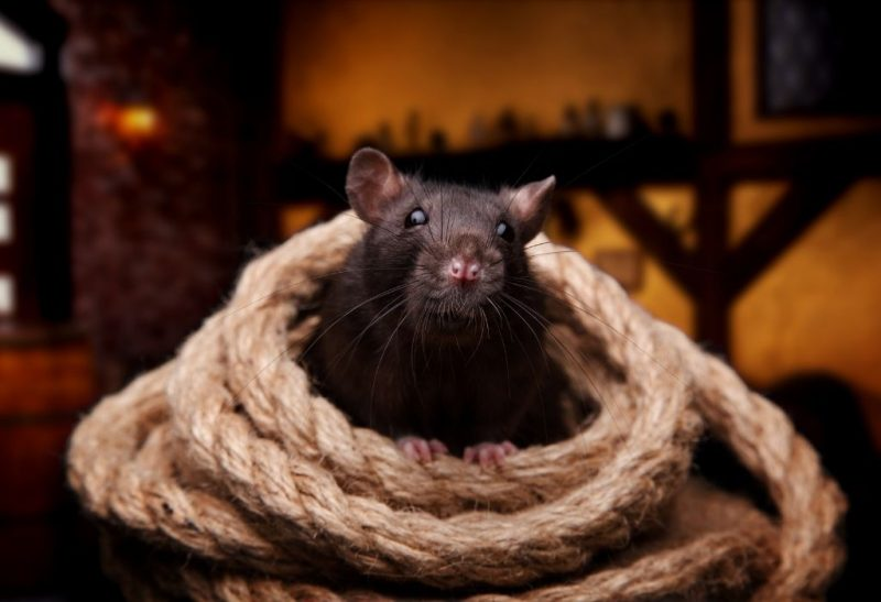 How to Get Rid of Roof Rats