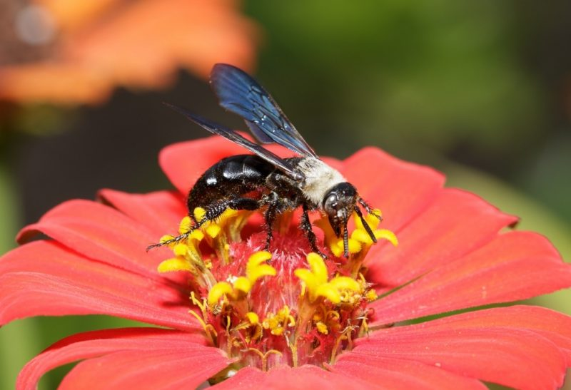 How to Get Rid of a Black Wasp
