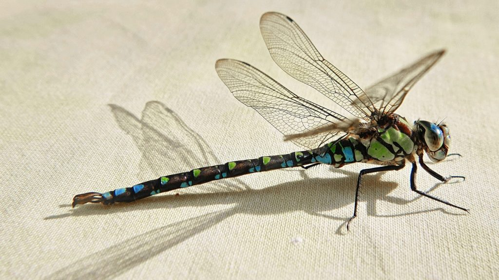 How to Identify a Dragonfly