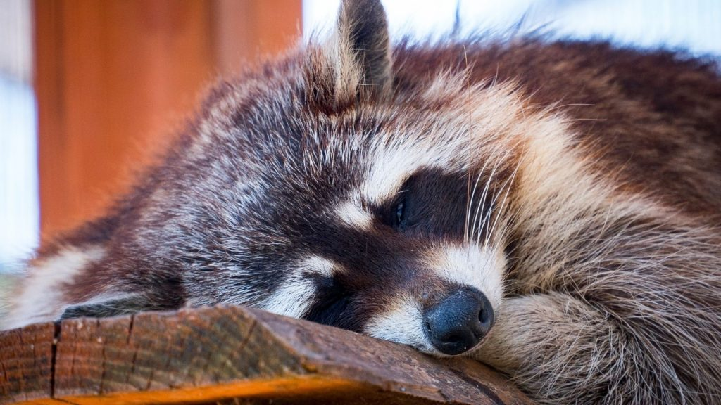 Is Hibernation a Thing for Raccoons