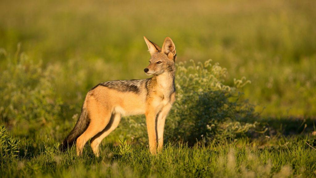 Is a Cornered Fox More Dangerous Than a Jackal