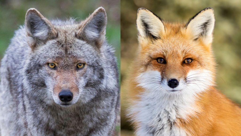 Is a Fox or Coyote More Dangerous