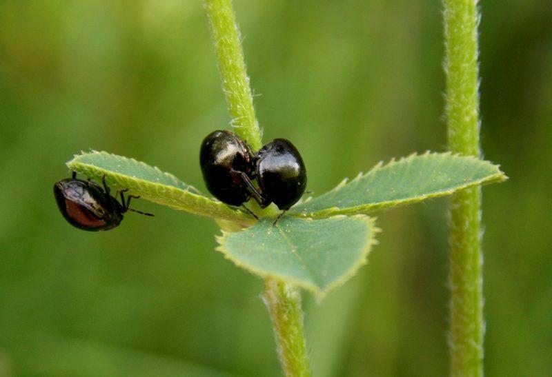 Little Black Bugs That Bite