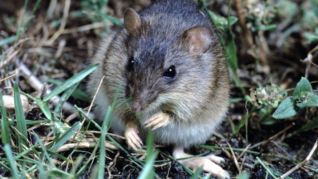 Marsh Rice Rats