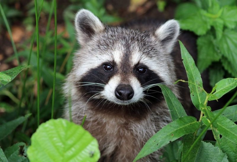 Natural Raccoon Repellents That Work