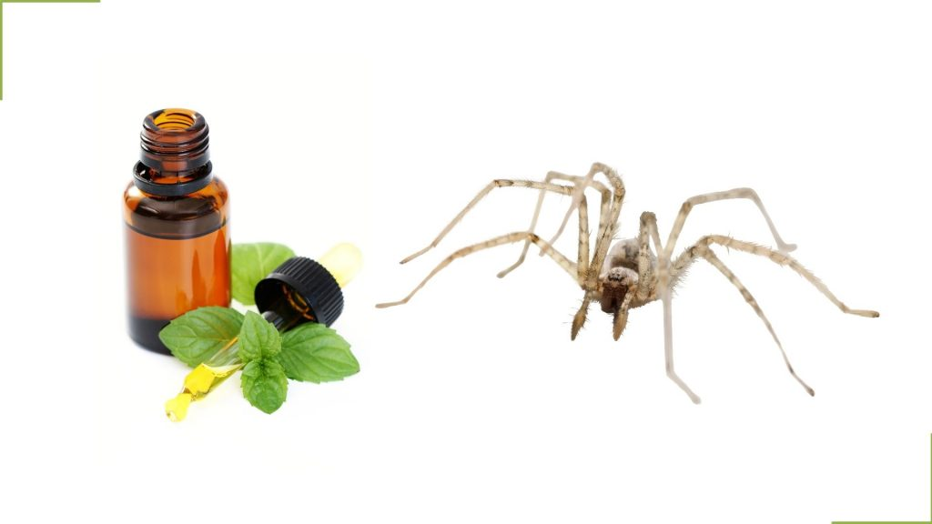 Peppermint Oil and Spiders