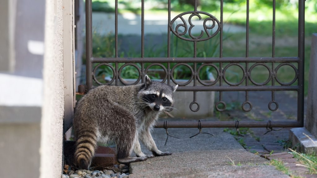 Presence of Raccoons In Your Home