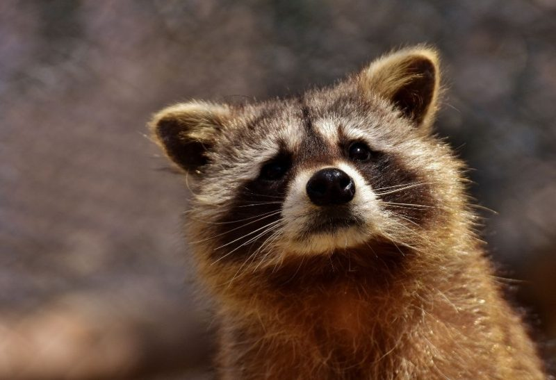 Raccoon Feces (Toxicity, Dangers, and Diseases)