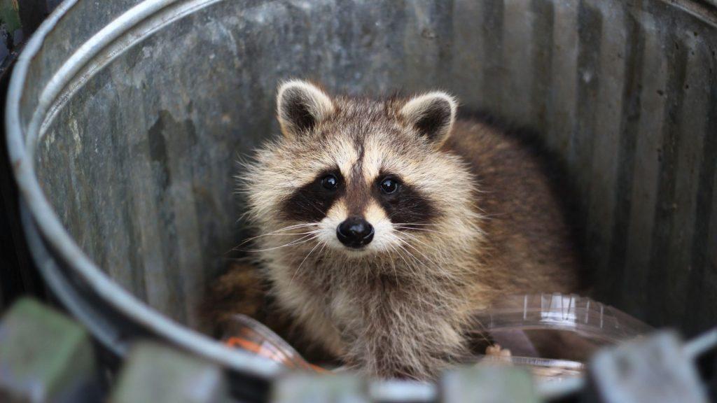 Raccoon's Behavioral Changes During Hibernation Season
