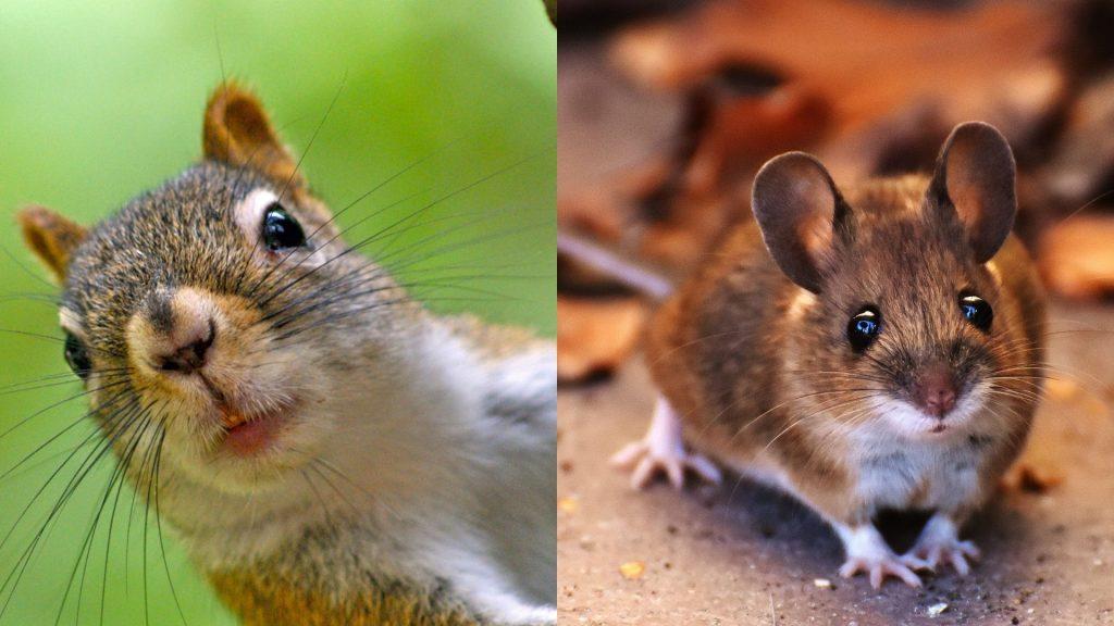 Squirrel Feces vs. Mouse Feces