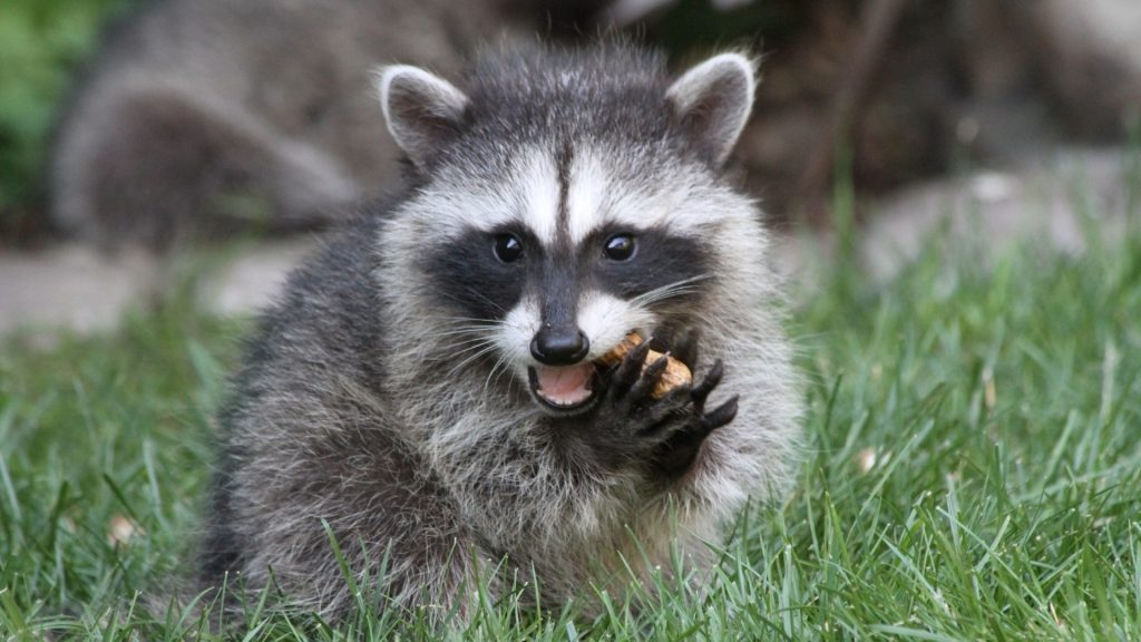 What Animals Do Raccoons Hunt and Kill