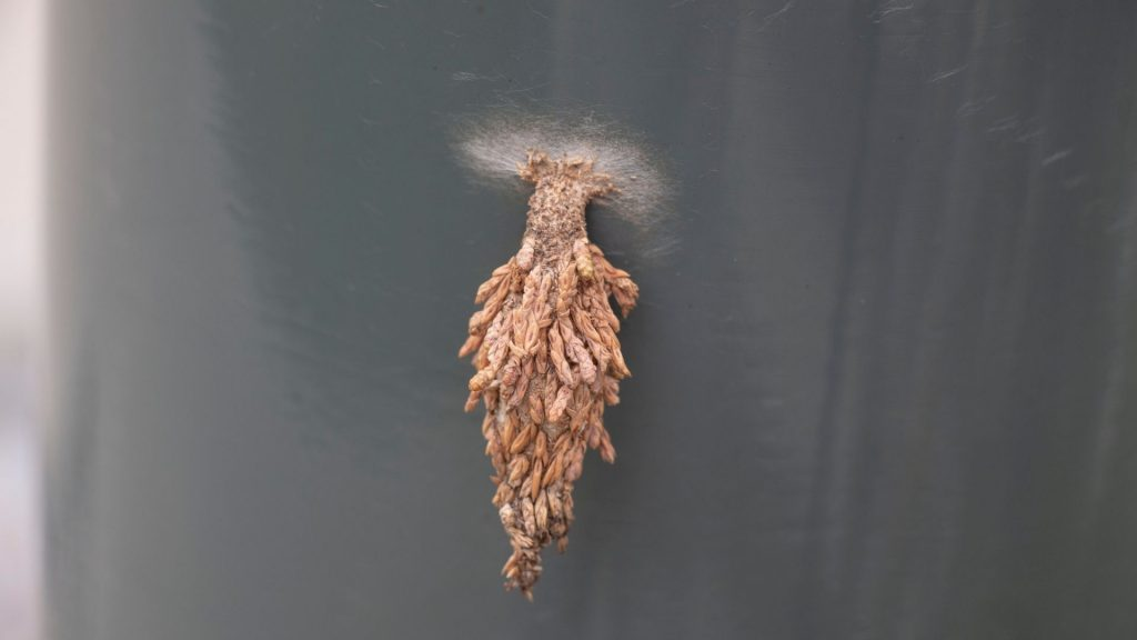 What Are Plaster Bagworms