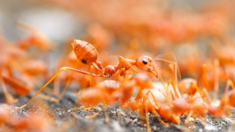 What Are Red Ants