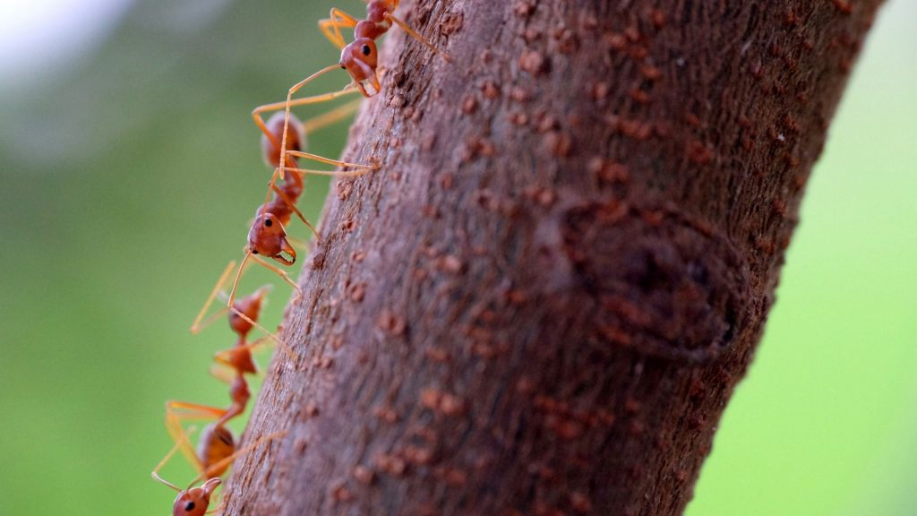 What Are Tiny Red Ants Called