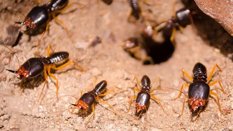 What Are White Ants How Are They Harmful
