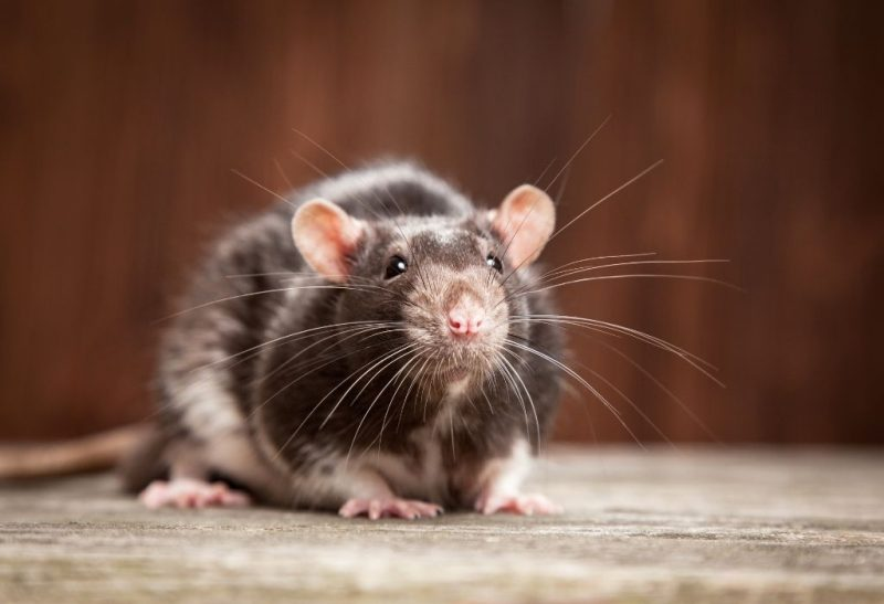 What Are the Different Types of Rats in Your Home