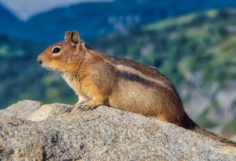 What Are the Natural Scents That Repel Chipmunks.