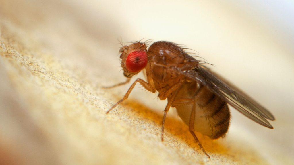 What Do Fruit Flies Look Like
