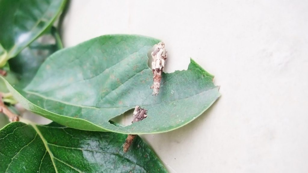 What Do Plaster Bagworms Eat