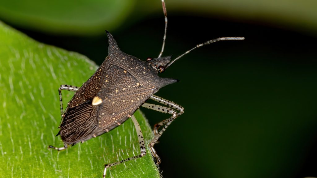 What Does a Stink Bug Look Like