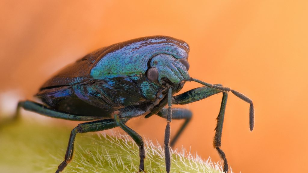 What Eats Stink Bugs