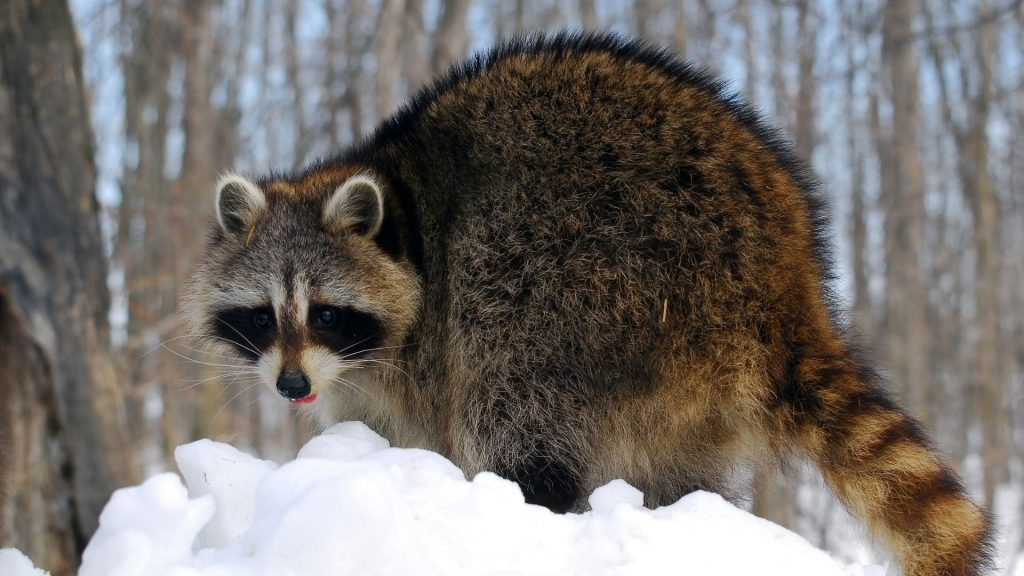 What Would Raccoons Do for Winter