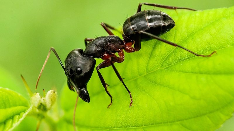 What's the Difference between Moisture Ants and Carpenter Ants