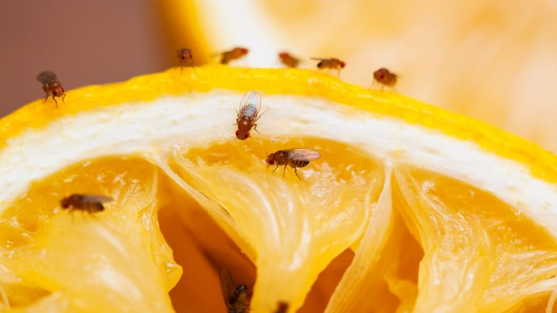 Where do Fruit Flies Stay Most of the Time