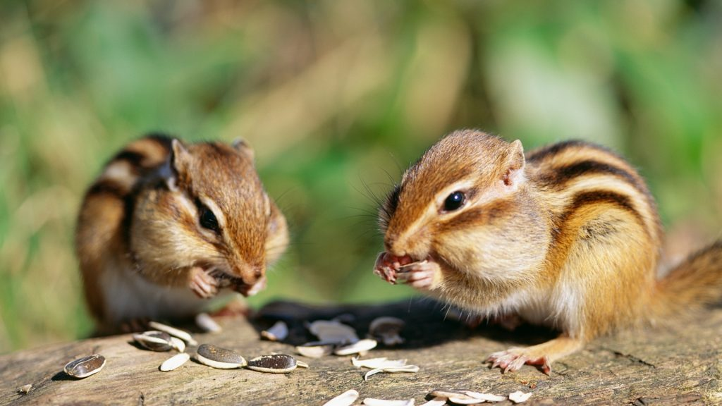 Why Are There So Many Chipmunks on Your Property