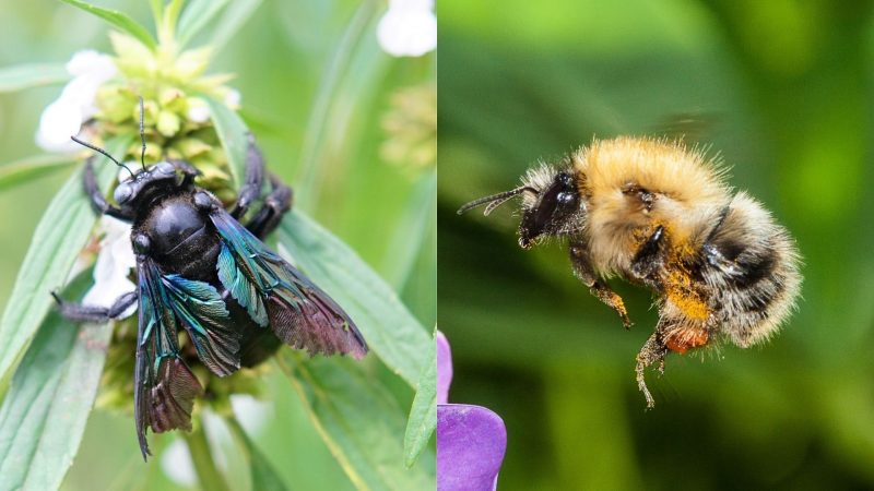 A Detailed Comparisonof Carpenter Bees and Bumblebees