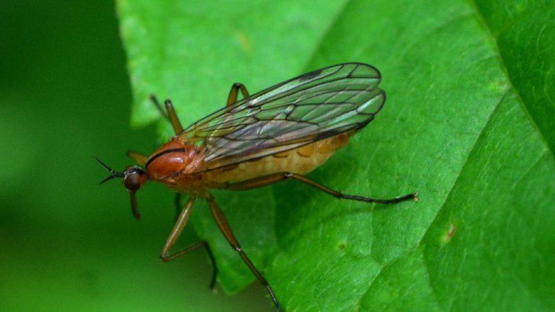 Dance Flies