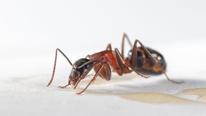 Do Black Carpenter Ants Bite