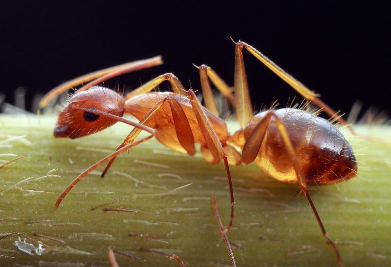 Do Carpenter Ants Bite Humans