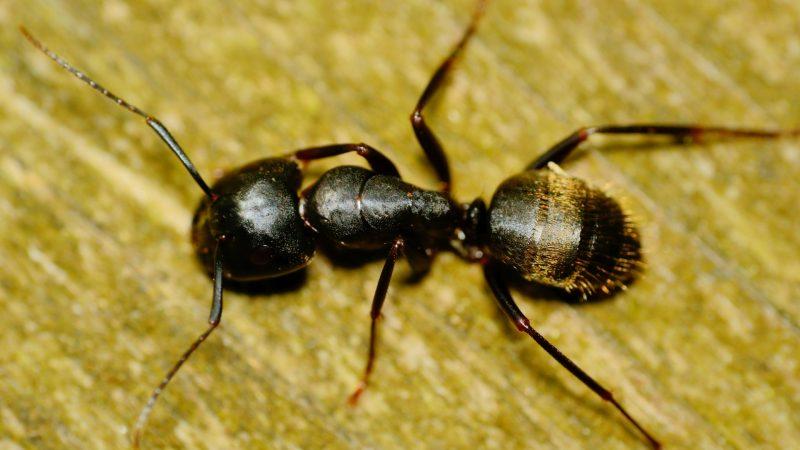 Do Carpenter Ants Bite or Sting