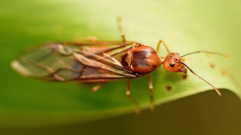 Do Queen Ants Have Wings