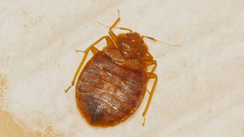 How Big Are Bed Bugs Compared to Ticks