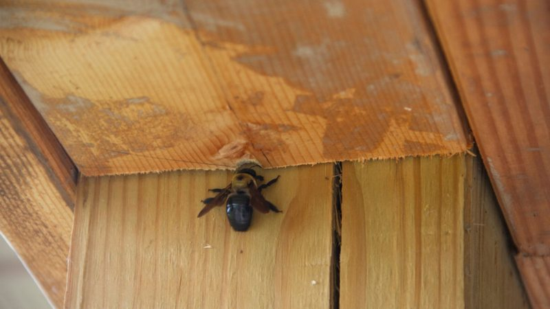 How Do You Find a Carpenter Bee Nest
