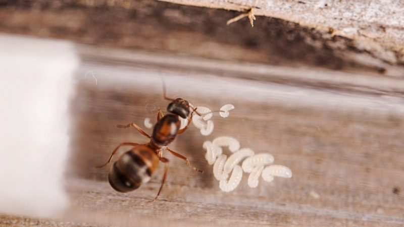 How Does an Ant Become a Queen